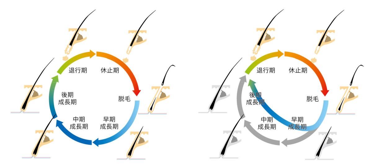 ヘアサイクルの比較図