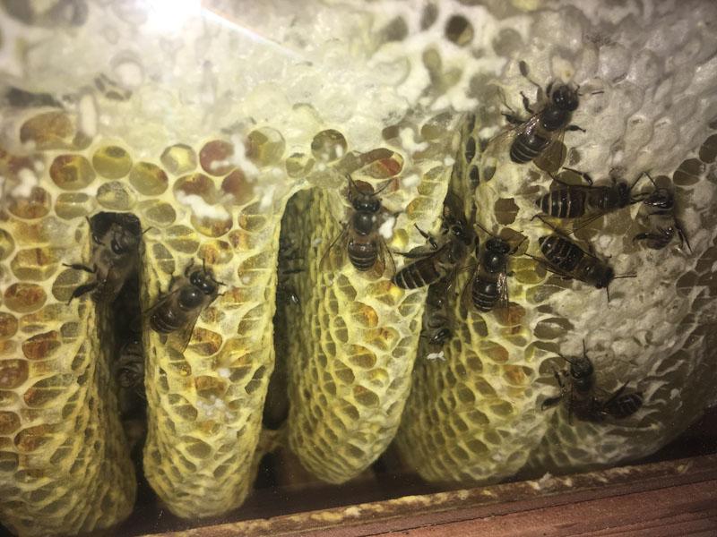 観察窓から蜜蜂の動きを観察