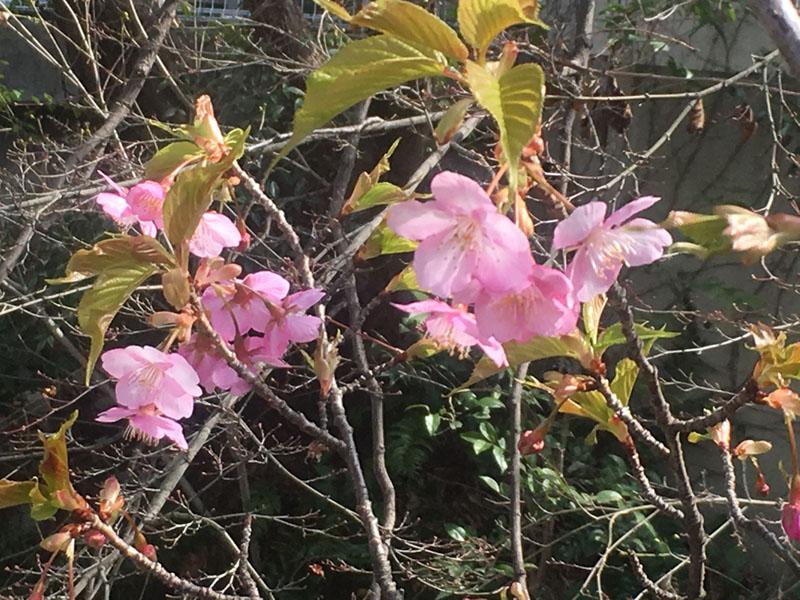 陽光桜?早春桜?