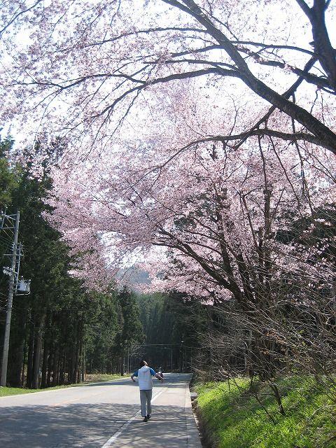 桜おいかけ