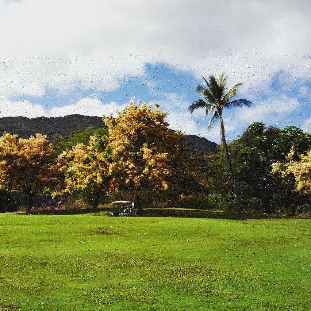 ハワイの夏はゴールデンシャワーツリーが満開