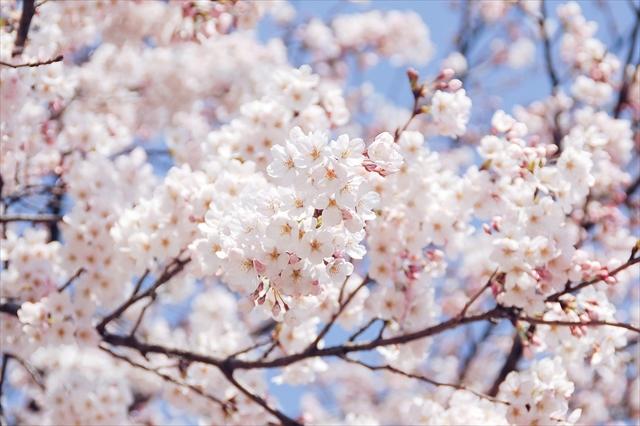 お花見 北国の定番とは
