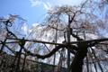 京都新聞写真コンテスト「樹齢400年」