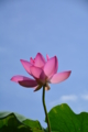 京都新聞写真コンテスト「青空に一輪」