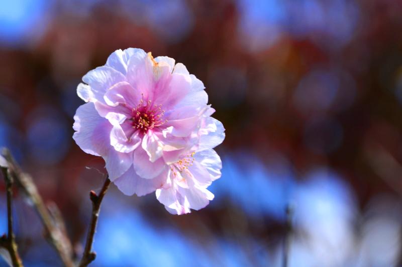 京都新聞写真コンテスト「二度咲き」