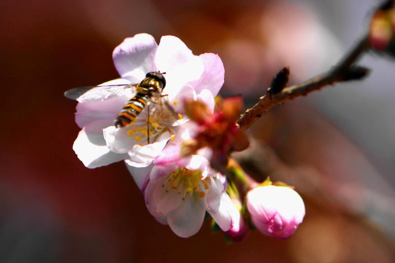 京都新聞写真コンテスト「秋の桜」