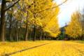 京都新聞写真コンテスト「黄色のジュウタン」