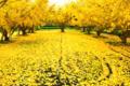 京都新聞写真コンテスト「黄色のジュウタンⅡ」