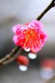 京都新聞写真コンテスト「早咲きの梅」