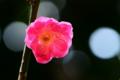 京都新聞写真コンテスト「梅一輪」