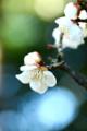 京都新聞写真コンテスト「立春」