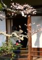 京都新聞写真コンテスト「梅ごしに」