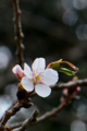 京都新聞写真コンテスト「桜前線」