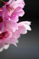京都新聞写真コンテスト「桃色桜」