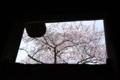 京都新聞写真コンテスト「額縁・桜」