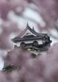 京都新聞写真コンテスト「満開・彦根城」