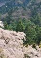 京都新聞写真コンテスト「花吹雪」