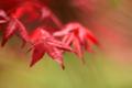 京都新聞写真コンテスト「春の紅葉」