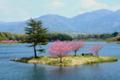 京都新聞写真コンテスト「おそ咲き桜」