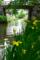 京都新聞写真コンテスト「黄色艶やかに」