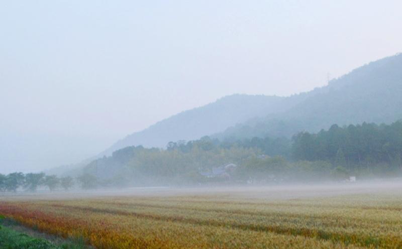 京都新聞写真コンテスト「麦と朝霧」
