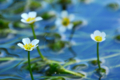京都新聞写真コンテスト「幻想・梅花藻」