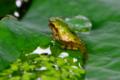 京都新聞写真コンテスト「もうすぐカエル」