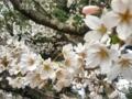 [花][桜][春]桜~松陰神社にて~2012.4.5