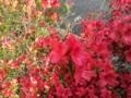[花][つつじ]つつじ① 2012.4.23