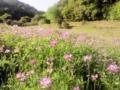 [花][レンゲ]レンゲソウ2012.5.4
