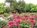 [花][バラ]バラⅣ2012.5.23