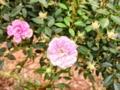 [花][バラ]バラⅡ2012.5.23