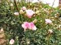 [花][バラ]バラⅠ2012.5.23