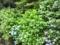 紫陽花2012.6.16