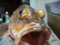 [魚][アラカブ]アラカブさん