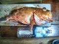 [魚][アラカブ]アラカブ