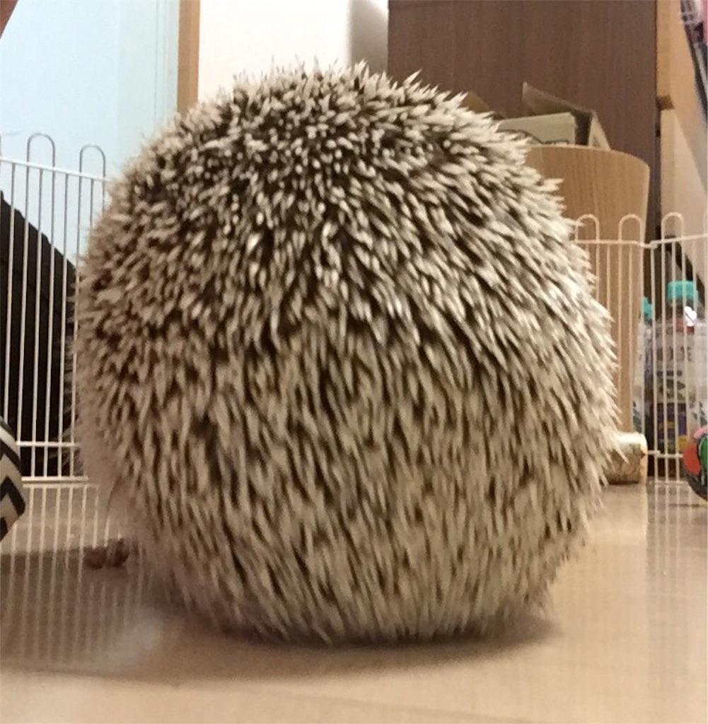 f:id:hedgehog_chacha:20160730234903j:image
