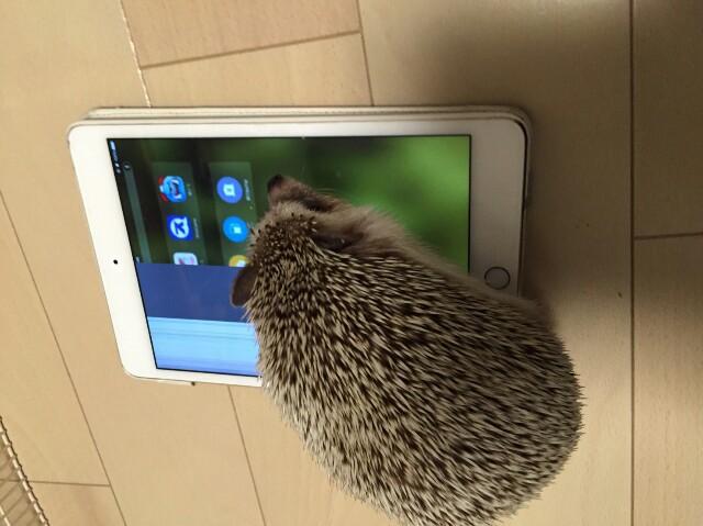 f:id:hedgehog_chacha:20160818145811j:image