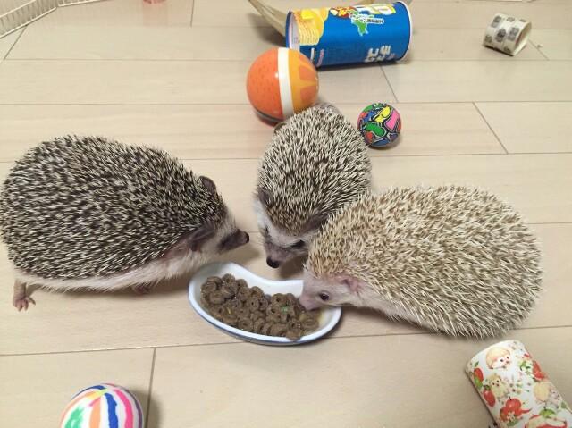 f:id:hedgehog_chacha:20160820231823j:image