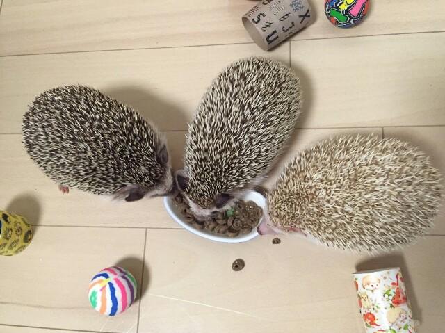 f:id:hedgehog_chacha:20160820232122j:image