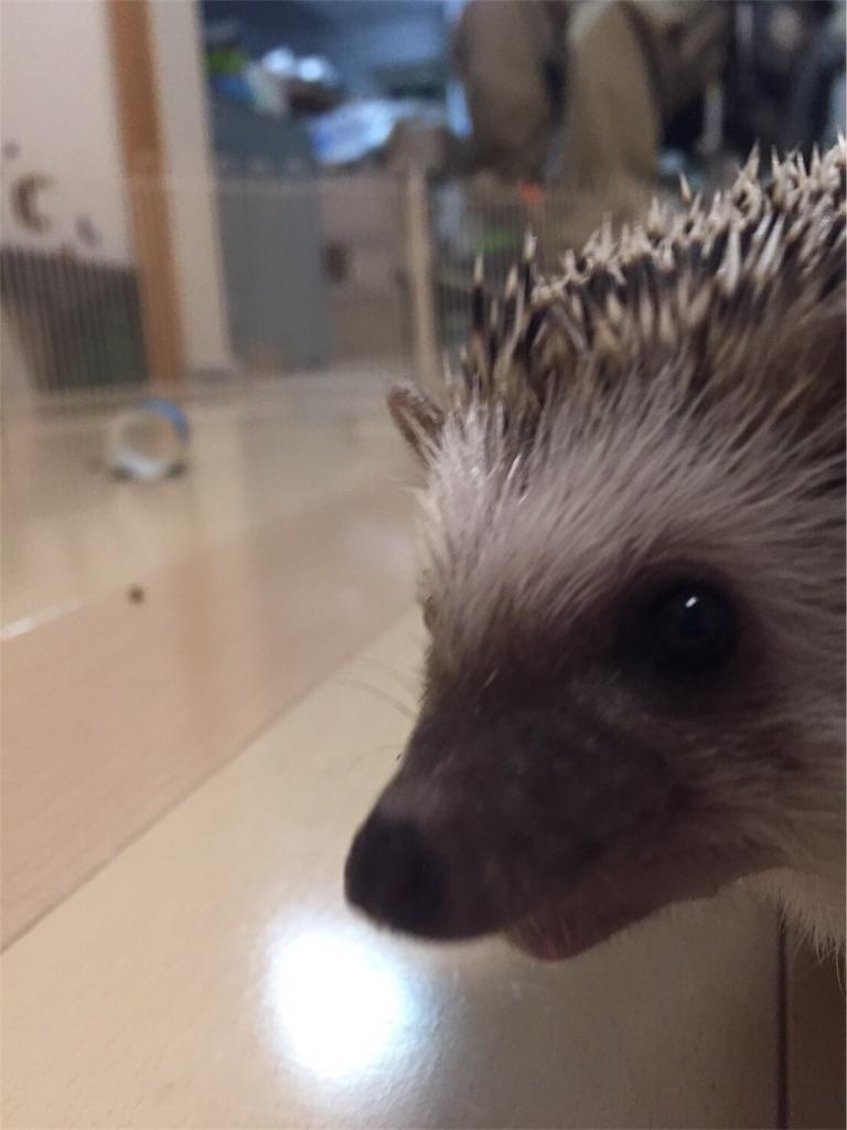 f:id:hedgehog_chacha:20170121185502j:image