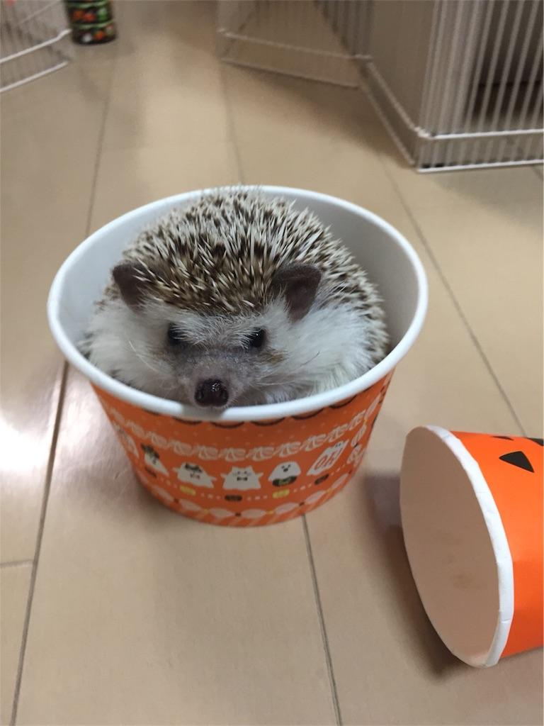 f:id:hedgehog_chacha:20171031210527j:image