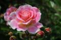 日本って人工的にきれいに咲かせるけど笑ってないよねこのバラ