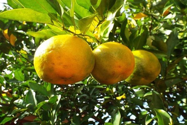 ベルガモットやオレンジのような柑橘系アロマは光毒性があるため、二人目妊活中の禁忌アロマの一つである。