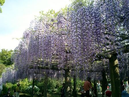 春日部 牛島の藤花園の藤