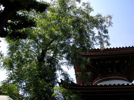 円乗院:栴檀の木