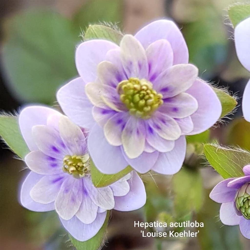 f:id:hepatica_japonica:20200417000249j:image
