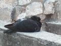 [ドブロブニク][鳥]城壁めぐり