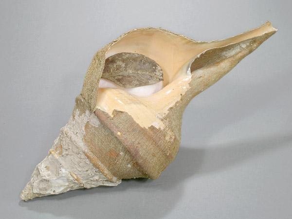 世界で一番大きな巻き貝