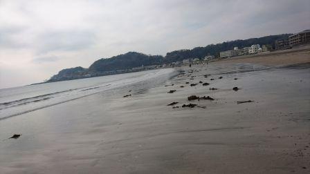 由比ガ浜海岸の海藻